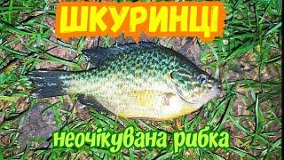 Шкуринці - цікава риба ловиться на річці південний буг біля Вінниці