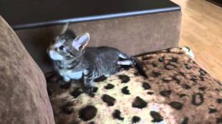 Котёнок-инвалид падает с дивана (июль, 2014)