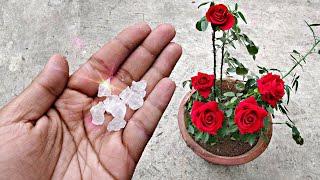 गुलाब के पौधे से ज़्यादा फ़ूल पाने का सीक्रेट जो कोई आपको नही बताएगा