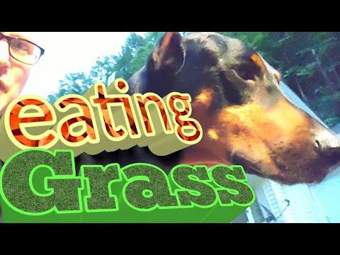 Doberman Pinscher Vlog - Why Do Dogs Eat Grass