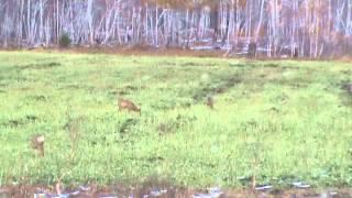 Охота на сибирскую косулю в Иркутской области