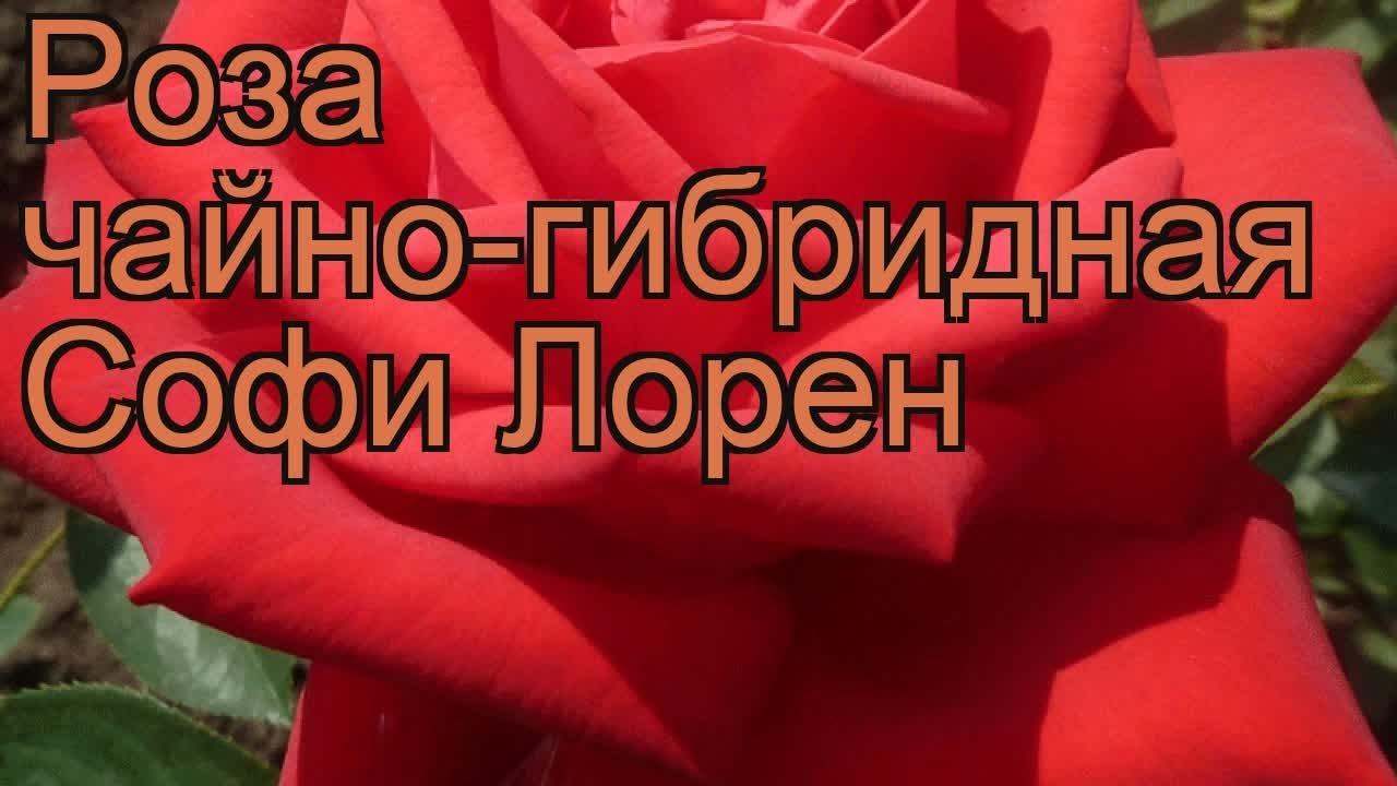 Цена: 50₽. Новый. В наличии. Роза 150 см снова в наличии. Розы-эквадор, голландия,китай,корея. В наличии пионы!!!. Не жалейте денег на цветы!