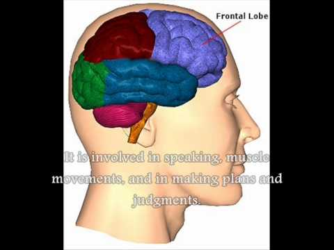 Parts of the brain psychology project youtube parts of the brain psychology project ccuart Gallery