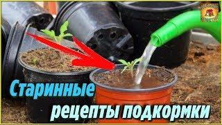 Старинные народные рецепты подкормки рассады помидоров, которые помогут получить крепкую рассаду