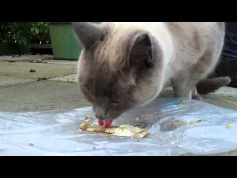 Cat Eating & Purring-Half Siamese Cat Eats Fish-Cat Licking Sounds