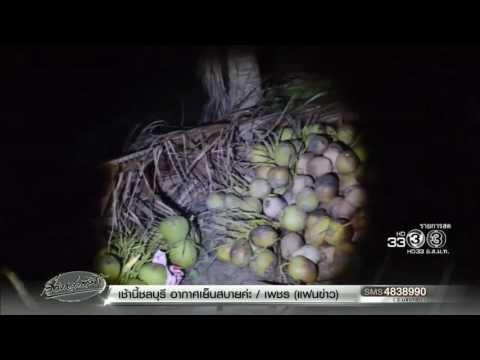 เรื่องเล่าเช้านี้ โจรบุกขโมยตัดมะพร้าวน้ำหอม 500 ลูก เจ้าของสวนรวบได้ทันควัน