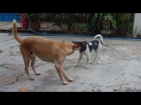 Cuoc chien cua hai chu cho (Dom vs Vang Fighting)