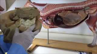 Anatomy of the Digestive System in Cow and Buffalo