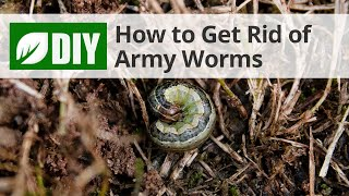 How to Get Rid of Army Worms
