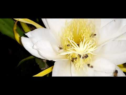 Pitayas caxias do sul