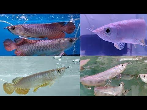 Arowana Fish Types At Farhat Fisheries Aquarium Fish Store