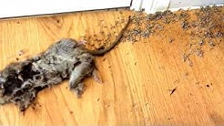 Dead Rat with what seemed like millions  of maggots in the house