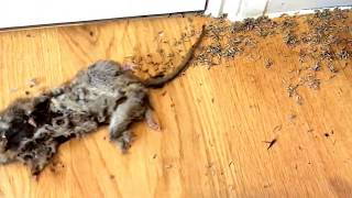 Dead Rat with what seemed like millions  of maggots in the hou…