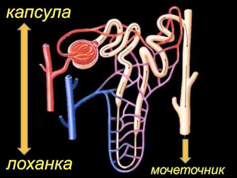 Физиология почек введение (почки 1)