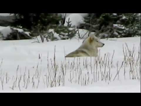 Two Wolves on the Madison River in Yellowstone National Park