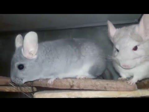 Кролик серый великан Породы кроликов описание и фото