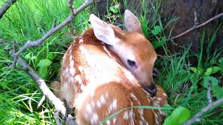 Newborn fawn only few hours old