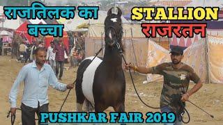 Pushkar Mela 2019 -राज तिलक का बच्चा stallion राजरतन पहुंचा मेले में