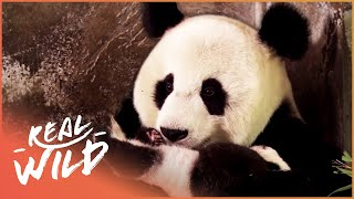 The Giant Panda Sanctuary Saving The Lives Of The Endangered Bear | Panda Nursery | Real Wild