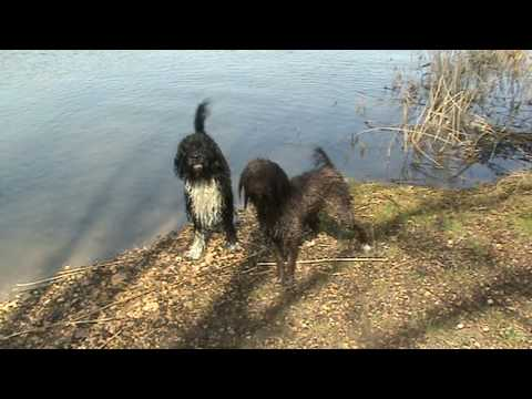 French Water dog: Barbet at play