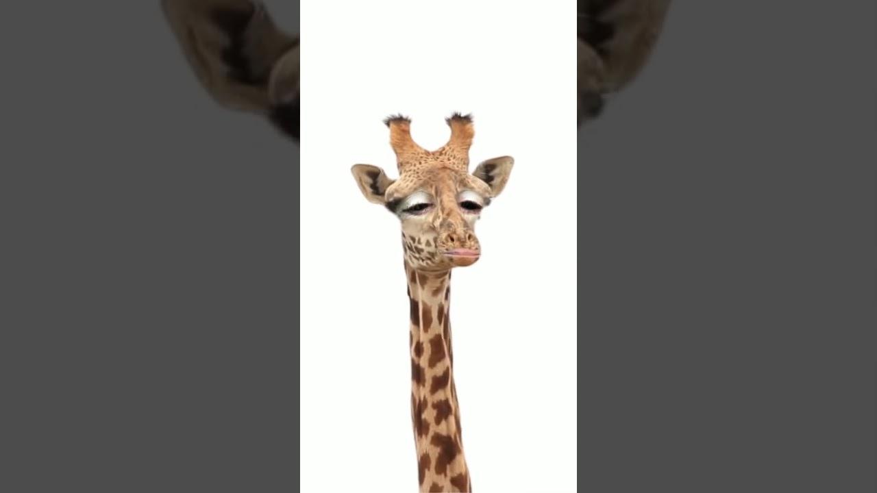 Giraffe Die Guten Morgen Sagt