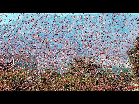 Desert Locusts threaten Saudi Arabia. Millions of locust swarms / Natural Disasters. Weather #Shorts