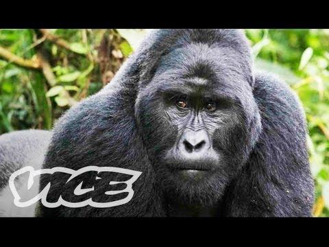 The Last Silverback Mountain Gorillas Watch Documentary