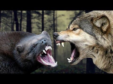 Вопрос: Чем отличается мексиканский волк от других представителей этого вида?