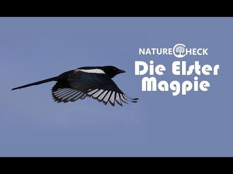Die Elster - The Magpie