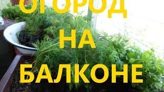 Огород на балконе. Рассада для дачи. Петрушка, укроп, лук, салат.