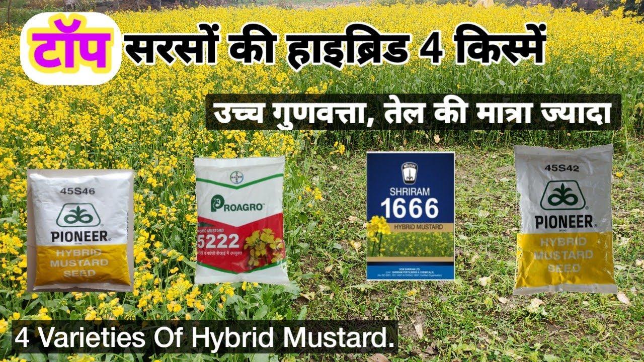 सरसों की हाइब्रिड टॉप 4 किस्में - High Quality Mustard Seed    Top 4 Hybrid Varieties of mustard