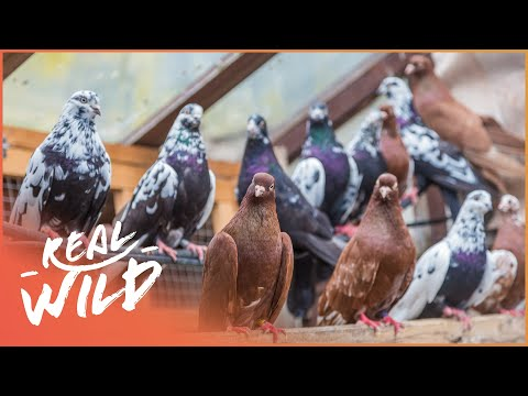 Paranormal pigeons [Animal Migration Documentary] | Wild Thi