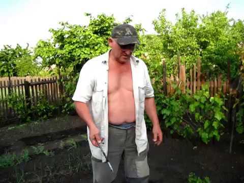 Как посадить рассаду капусты в открытый грунт