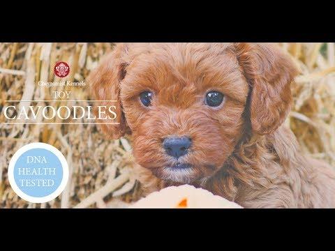 Cavoodle Puppies Australia