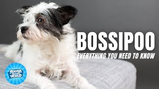 Bossipoo Dog Breed Information  One of the Most Adaptable Hybrids   Bossipoo Dogs 101