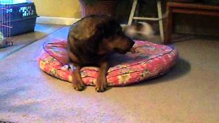 Gang Of Dachshund Attack Rottweiler Mix Funny Sweet