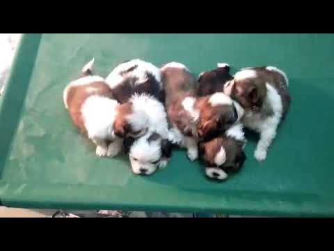 Shih Tzu Puppies Available For Sale In Bangalore