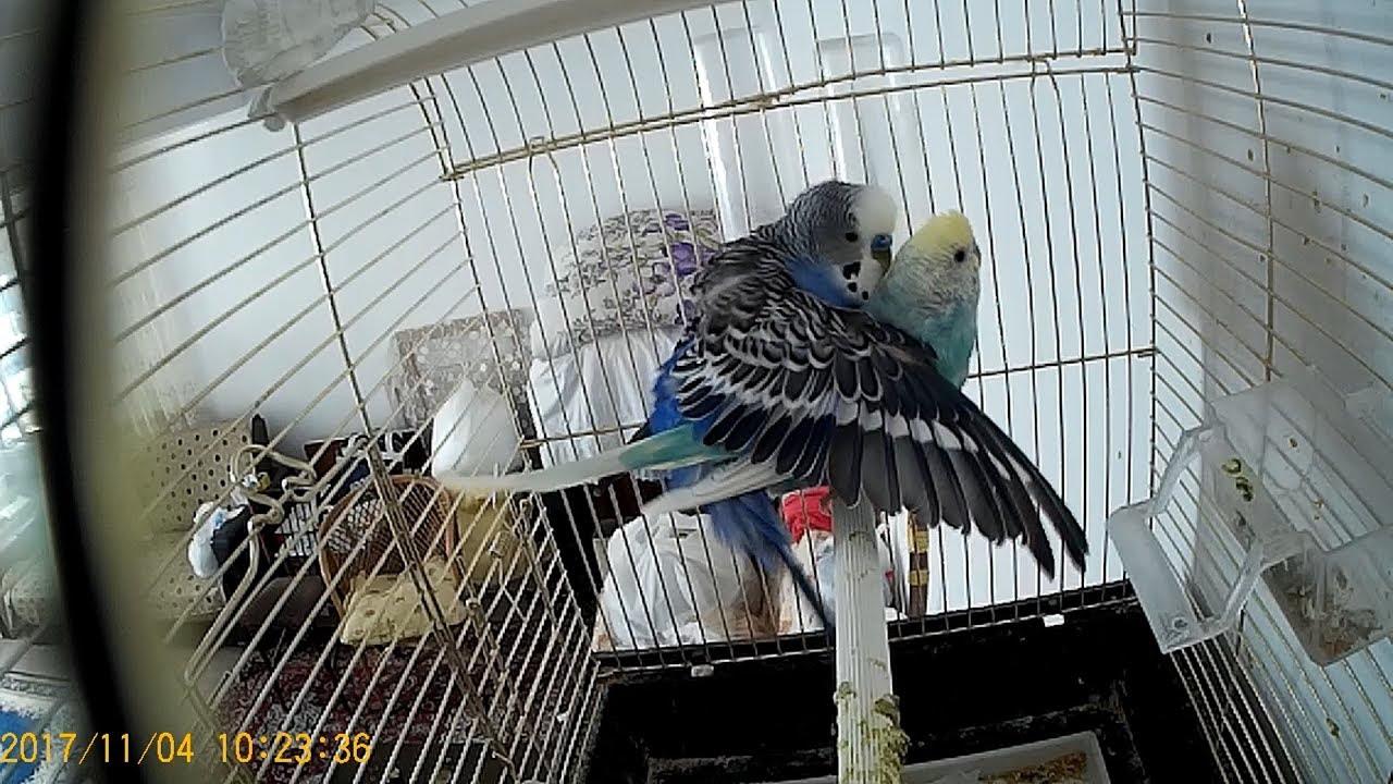 Muhabbet Kuşu Çiftleştirme Taktikleri Nasıl Yavru Aldım?🇹🇷🕊 #evüretimimuhabbetkuşu