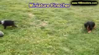 Miniature Pinscher, Puppies, For, Sale, In,omaha ,nebraska, Ne,lincoln, Bellevue, Grand Island