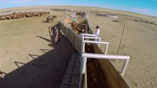 Shipping Cattle on Babbitt Ranches