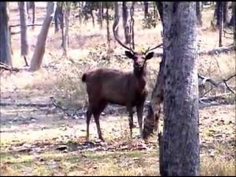 Sambar Stag  (Rusa unicolor) alert  behavior in Jungle by Shirishkumar Patil.mpg