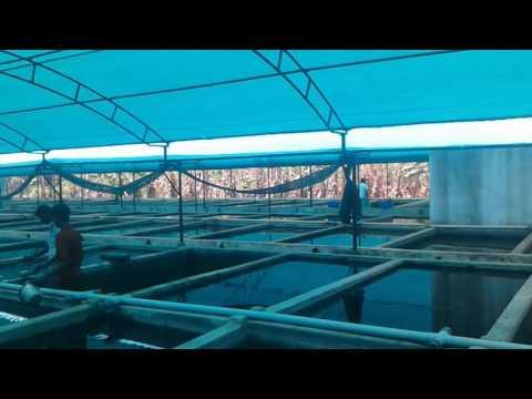 Profitible Ornamental Fish Farm - Ornamental Fish Exports & Farming Video.