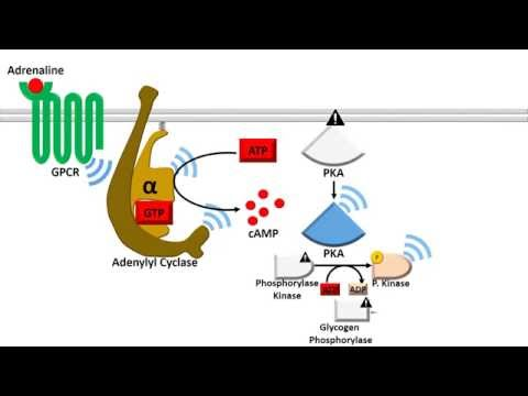 Adenylyl Cyclase Dependent Pathway - Fast Response