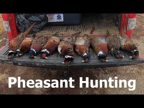 North Dakota Pheasant Hunting (SO MANY BIRDS)