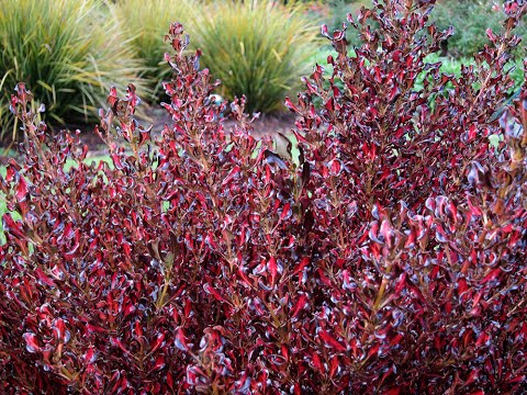 Plant Profile: Coprosma Pacific Sunset™