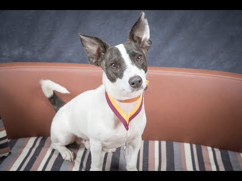 Tisa - Rat Terrier - 3 Week Residential Dog Training at Adolescent Dogs