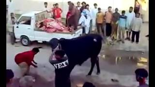 Very Very Dangerous Cow Qurbani By Expert Qasai    Eid Ul Azha 2016