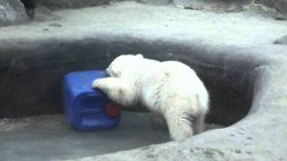 Baby Polar Bear Fighting at the Toronto Zoo