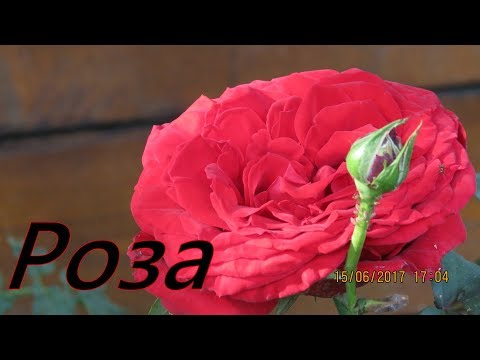 Розы.Роза.Посадка розы.Огород Баварский.