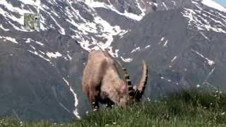 The Steinbock - The King of the Alps. Lo stambecco, il re delle alpi